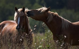 Preview wallpaper Two brown horses, wildflowers