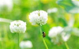 Preview wallpaper White clover flowers, ladybug