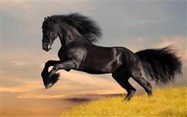 Black horse running, grass