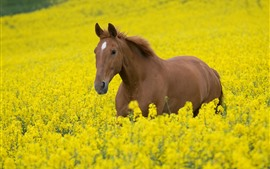 Preview wallpaper Brown horse, yellow rapeseed flowers