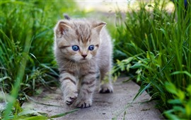 Preview wallpaper Cute kitten walking, blue eyes, green grass