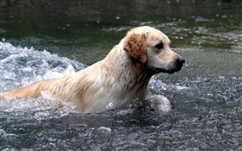 Preview wallpaper Dog swimming in the water, river