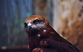 Preview wallpaper Eagle, look, beak, bird close-up