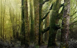 Forest, trees, moss, green, hazy