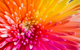 Gerbera, colorful petals, orange, red, yellow, purple