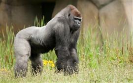 Gorila, grama, animais selvagens