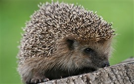 Hedgehog, stump