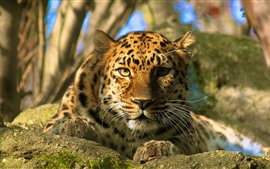 Preview wallpaper Leopard, rest, look, face, eyes, bokeh
