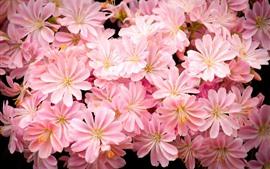 Много розовых цветов, лепестки, яркие