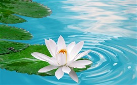 One white water lily flower, pond, water