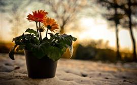 預覽桌布 橙色非洲菊,朦朧,眩光