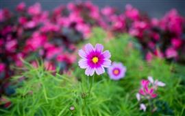 Pink cosmos flowers, petals, hazy