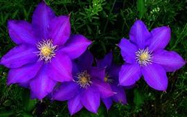 Цветы фиолетового клематиса, лепестки