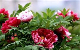 Preview wallpaper Red peony flowers, green leaves