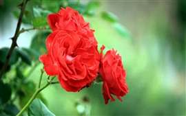 Preview wallpaper Red roses, green background