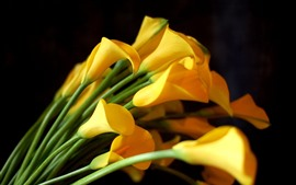 Some yellow calla flowers, bouquet