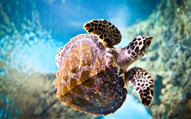 Turtle, underwater, swimming