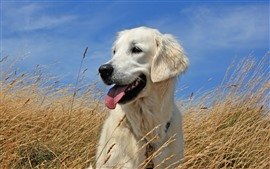 Preview wallpaper White dog, grass, summer