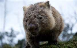 Preview wallpaper Wombat, wildlife, hazy background