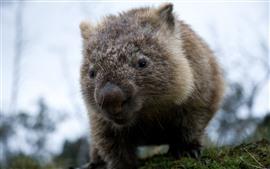 Wombat, vida selvagem, fundo nebuloso