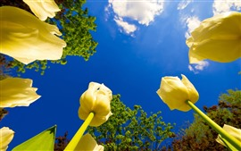 Yellow tulips close-up, blue sky, clouds