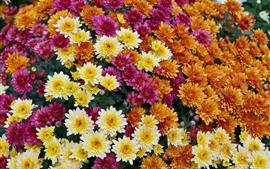 оранжевые, желтые, красные хризантемы, много цветов