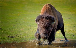 Preview wallpaper Bison, water