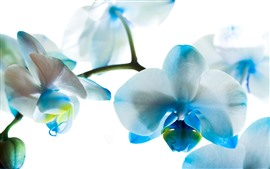 Preview wallpaper Blue and white petals phalaenopsis