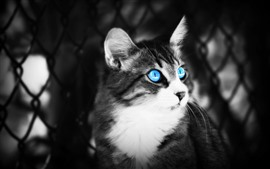 Preview wallpaper Blue eyes cat, black and white picture