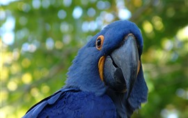 Blue macaw, beak, hazy