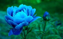 Aperçu fond d'écran Pivoine bleue, fleurs