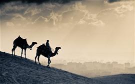 Camelos, deserto, Egito