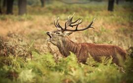 Preview wallpaper Deer, elk, yawn, fern