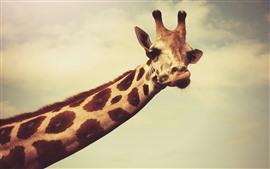 Girafa, pescoço comprido, cabeça