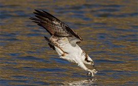 Hawk, hunt fish, lake, water