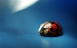 Ladybug close-up, blue background