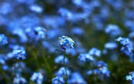 Маленькие голубые цветочки незабудка