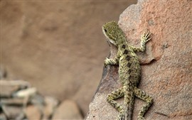 Preview wallpaper Lizard, rock