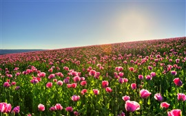 Many pink poppies, spring, sky