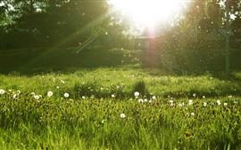 Prado, flores blancas, árboles, verde, rayos de sol, resplandor
