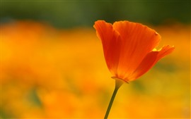 One orange poppy flower close-up