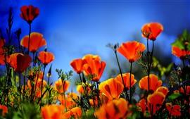 Campo de flores de amapola naranja, brumoso
