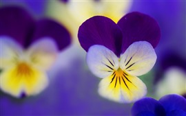 Preview wallpaper Pansies macro photography, petals, flowers
