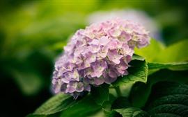 壁紙のプレビュー ピンクのアジサイの花、春、かすんでいる