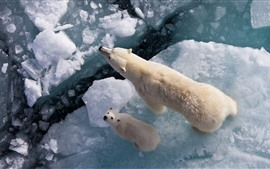 Preview wallpaper Polar bears, ice, sea, top view