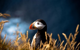 Puffin, close-up de pássaro, grama