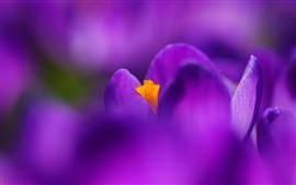 壁紙のプレビュー 紫のクロッカスマクロ写真、花びら、かすんでいる