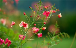 Preview wallpaper Red wildflowers, water droplets