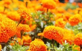 Some marigold, orange flowers
