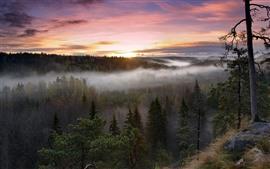 Nascer do sol, floresta, árvores, manhã, nevoeiro